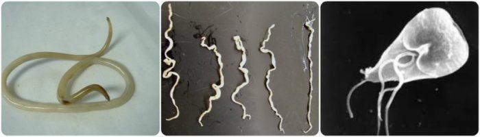 tipos de parasitos